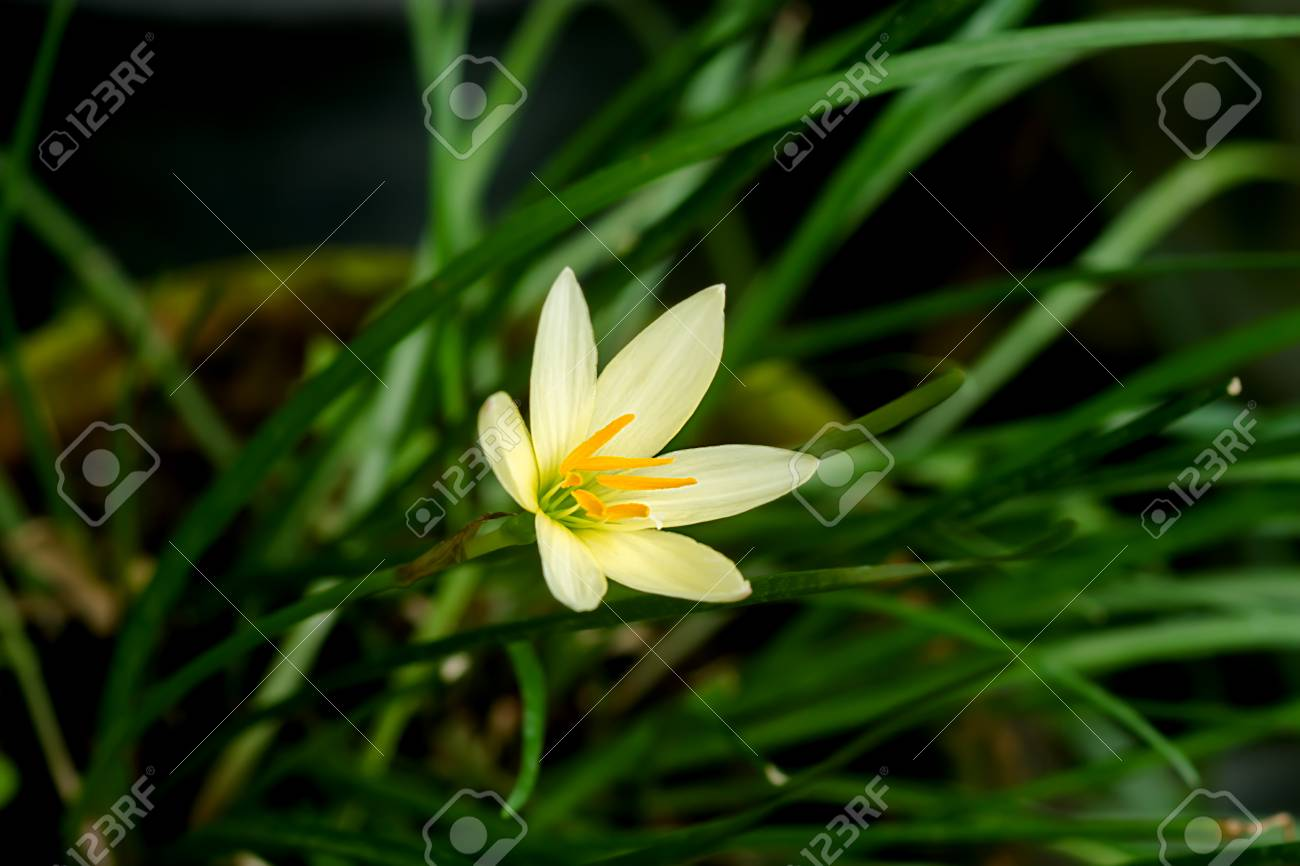 Beautiful Rain Lily Flower Zephyranthes Lily Stock Photo Picture