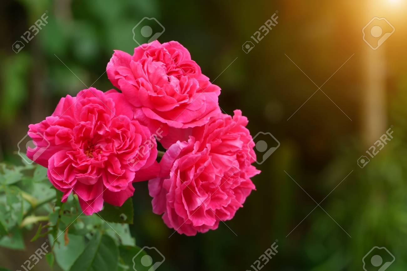 Rose Fonce De La Fleur De Damas Rose Avec La Lumiere Du Soleil