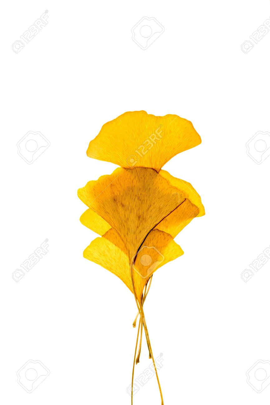 dried ginkgo leaves on white background stock photo picture and