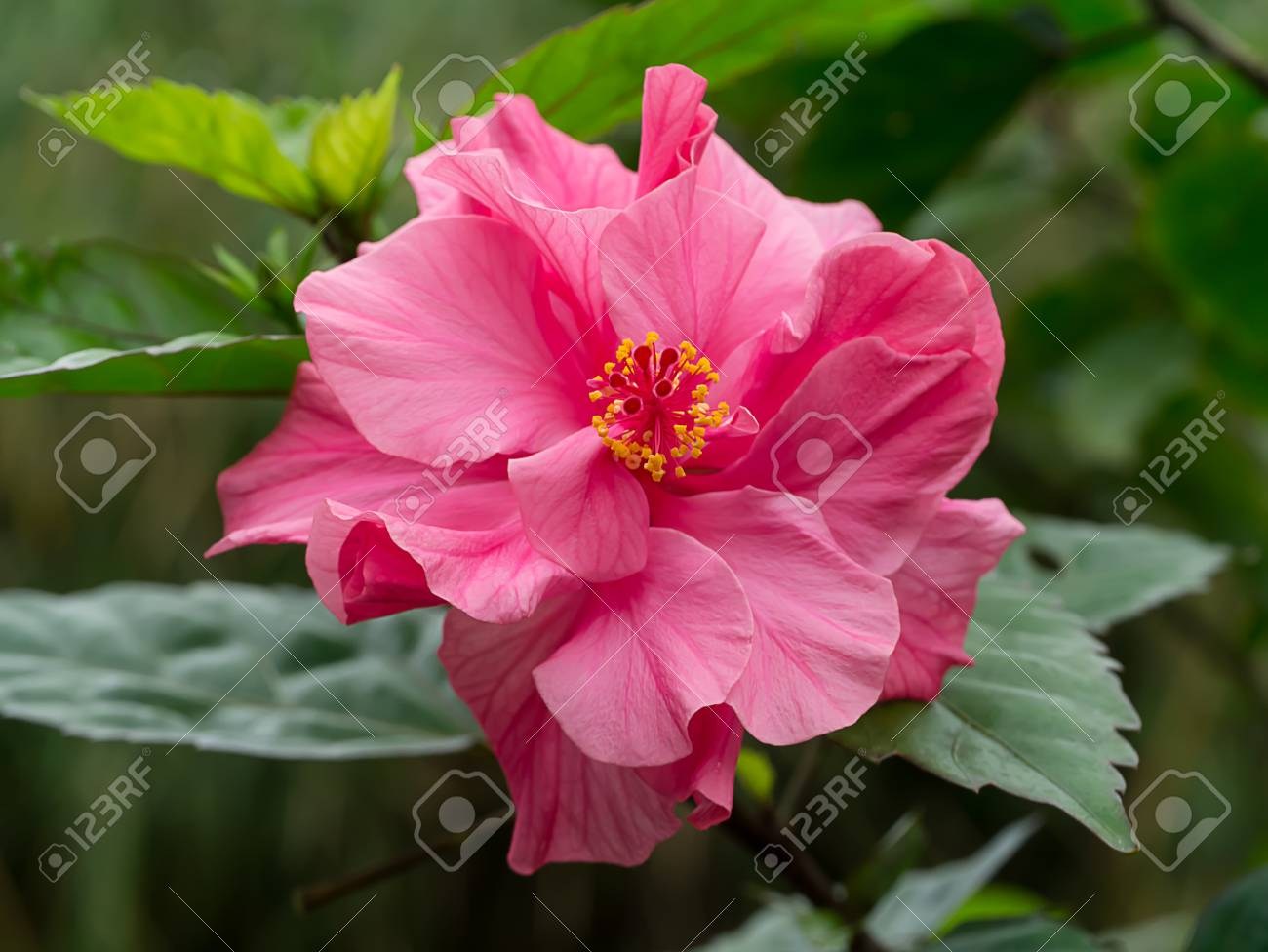 Close Up Of Pink Chinese Rose Or Hibiscus Rosa Sinensis Flower