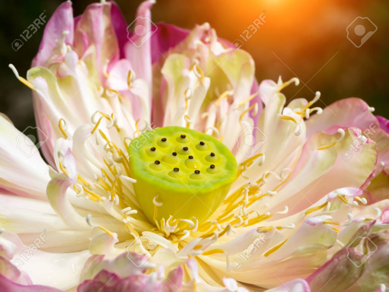 Close Up Pink Lotus Flower Are Blooming With Seeds And Sunlight