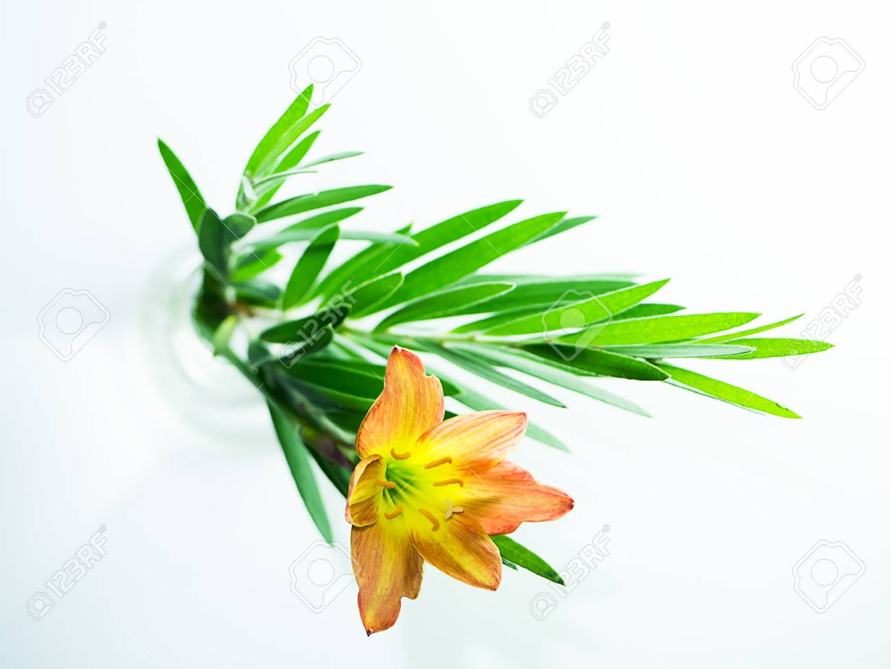 Beautiful Rain Lily Flower Zephyranthes Lily With Green Leaves