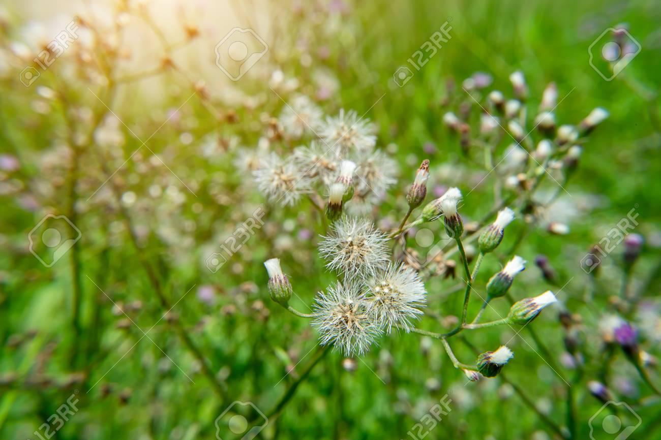 Ironweed Seed
