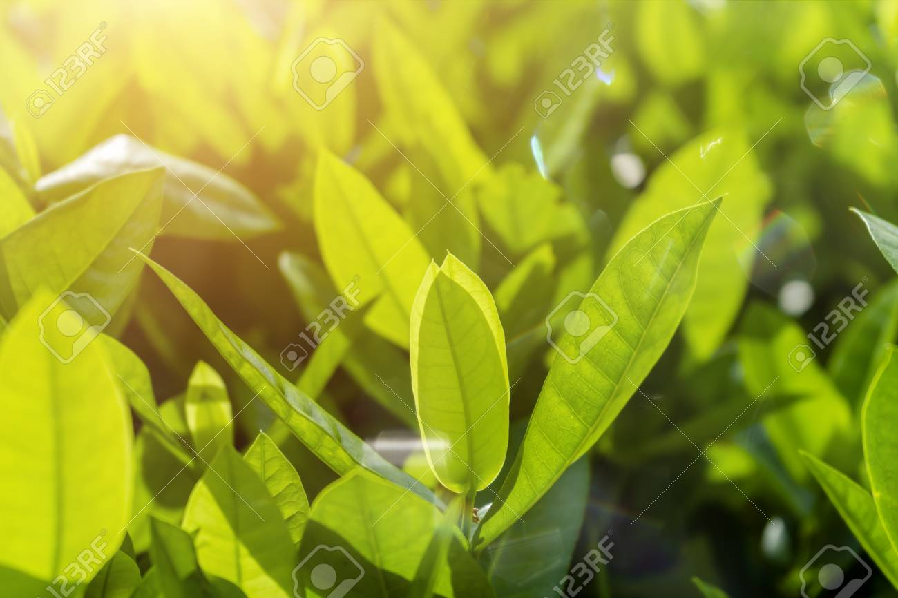 Close up soft leaves of West Indian Jasmine with flare and light