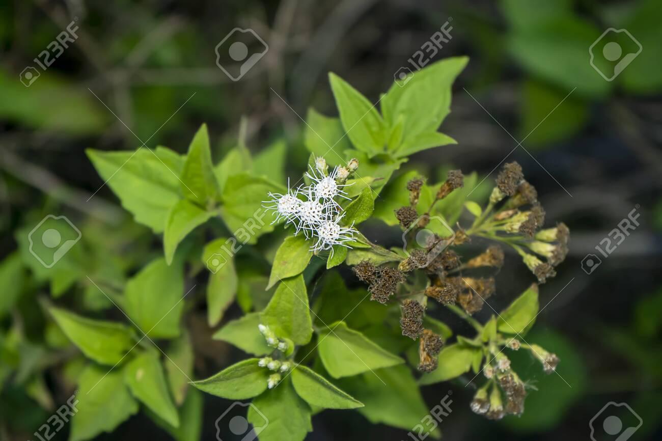 Christmas Bush Tea.Close Up Christmas Bush Flower Chromolaena Odorata