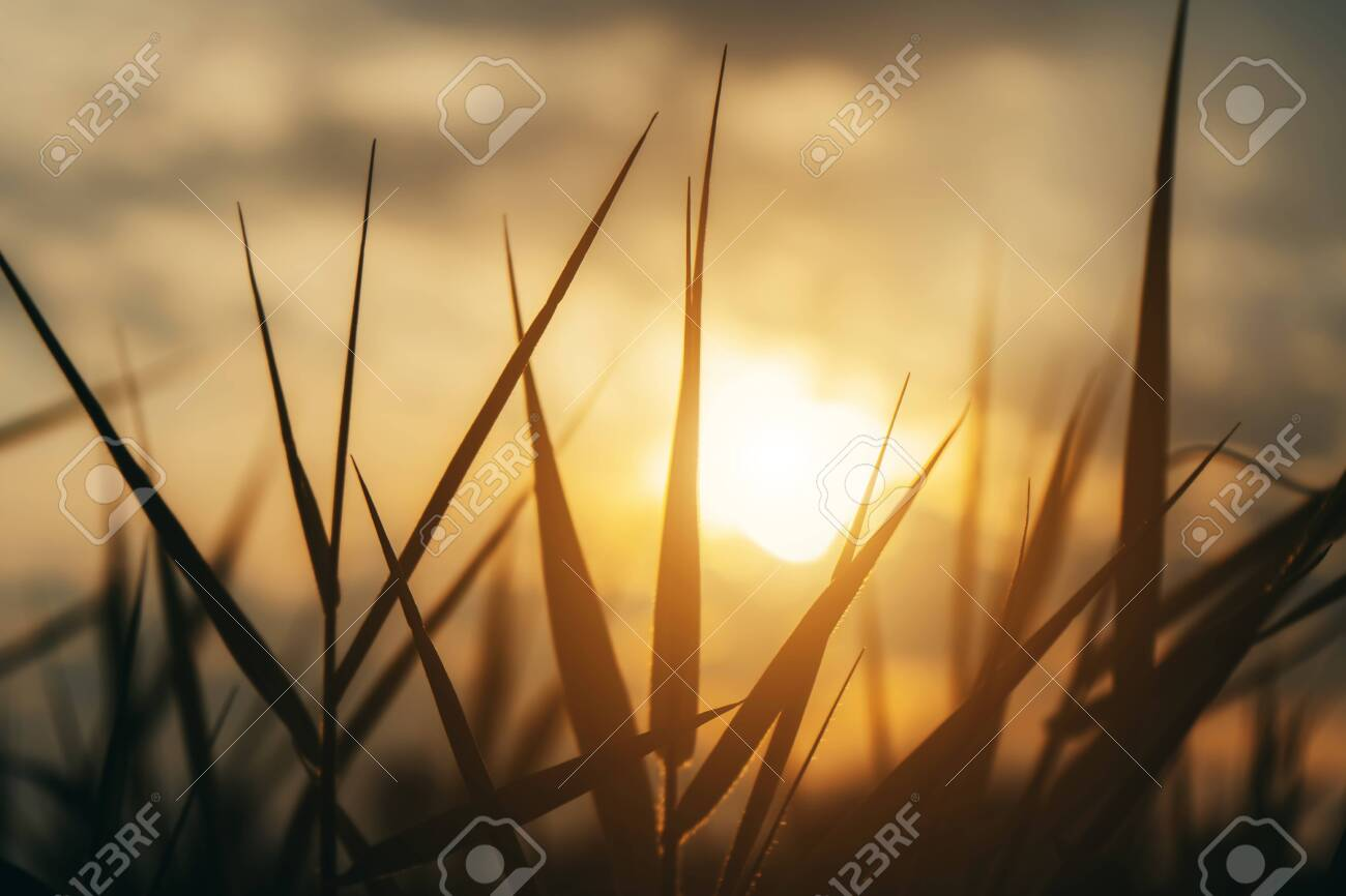 Close up silhouette of grass leaves with sunlight in vintage color. - 129131387