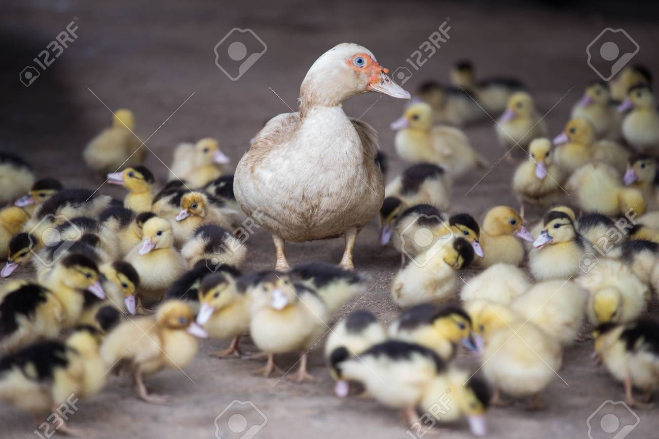 Mother Duck And Baby Ducks Stock Photo Picture And Royalty Free Image Image 95041803