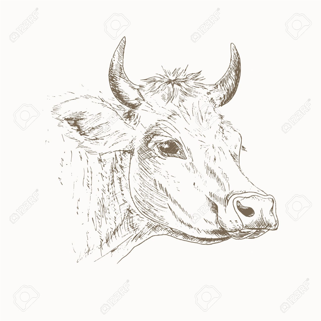 Cow Head Sketch Dairy Cattle Illustration Drawing Cow Head Cow Head Isolated On