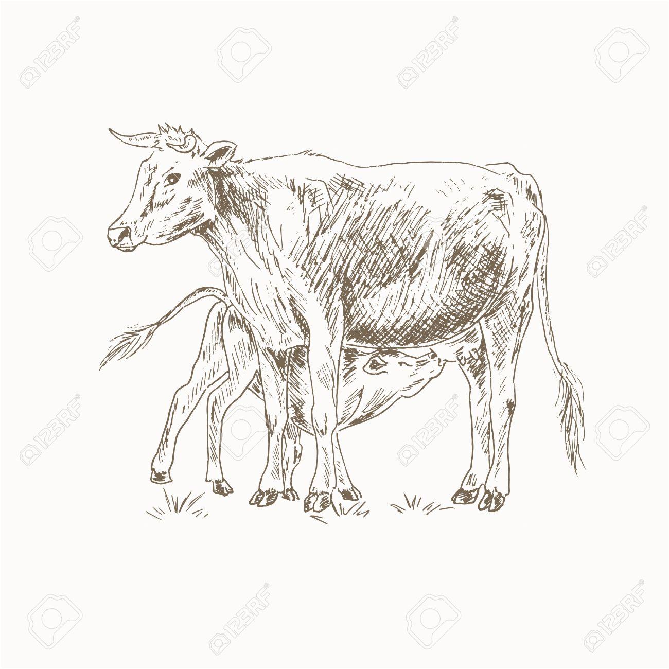 Cow Feeding Calf Sketch Mom And Baby Sucks Milk Mother