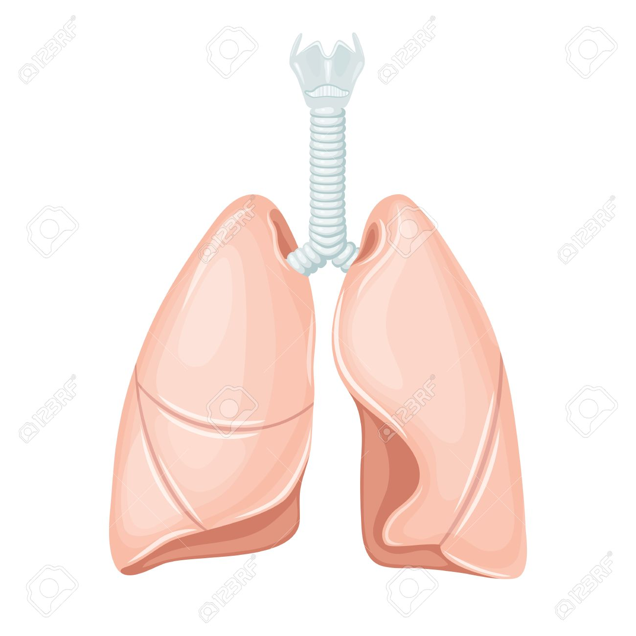 Human Lungs Anatomy. Lungs Medical Science Vector Illustration ...