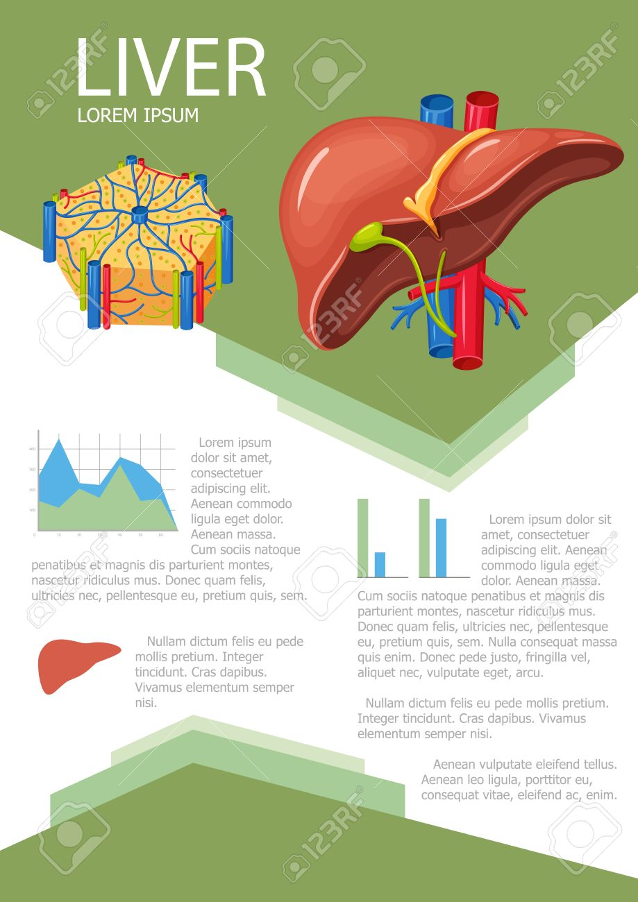 Human liver infographic poster with chart, diagram and icon. Liver lobes anatomy. Liver medical science infographic with chart, diagram. Vector liver anatomy infographic brochure with chart - 58289083