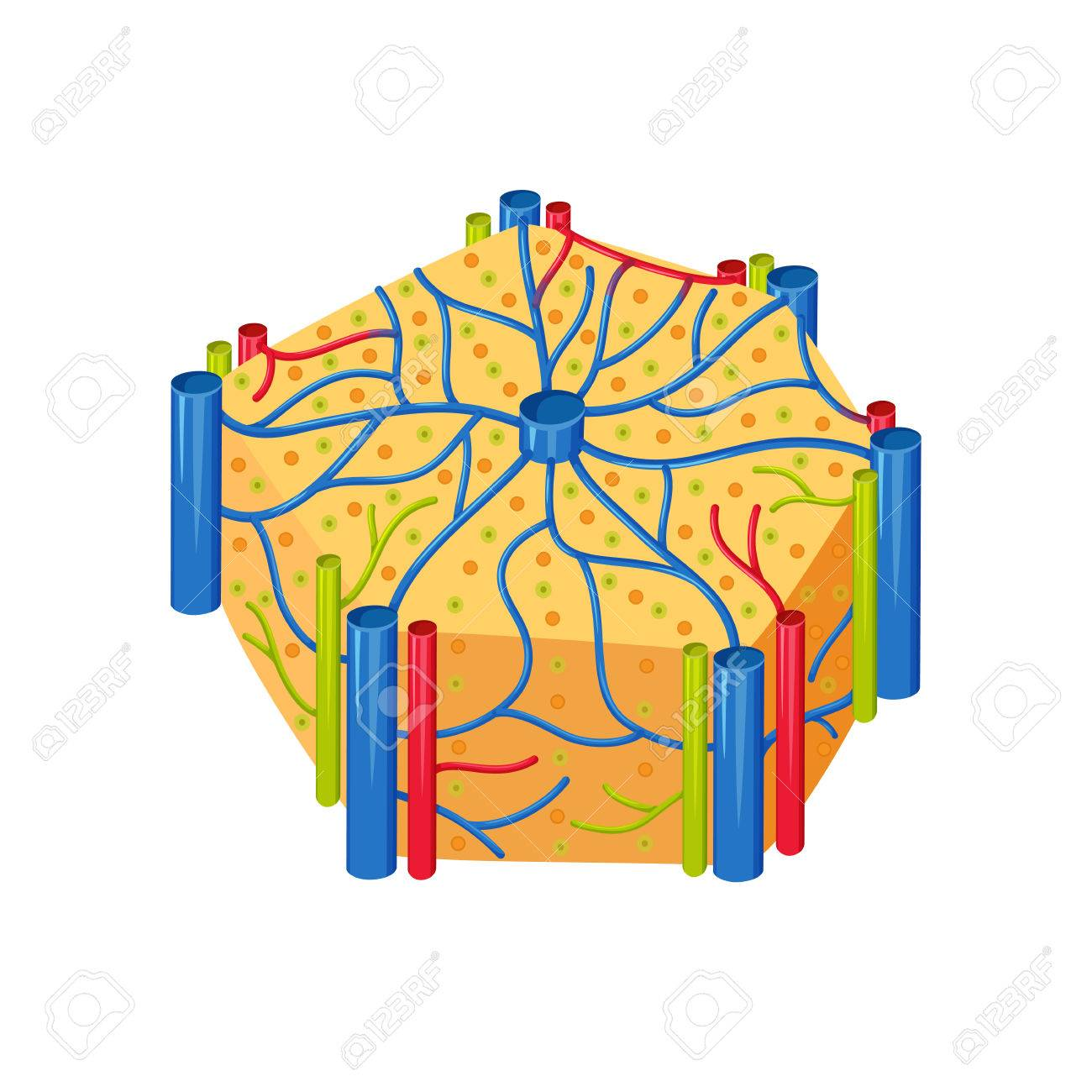 Lóbulos De Hígado Humano Anatomía. Hígado Lóbulos Ilustración ...