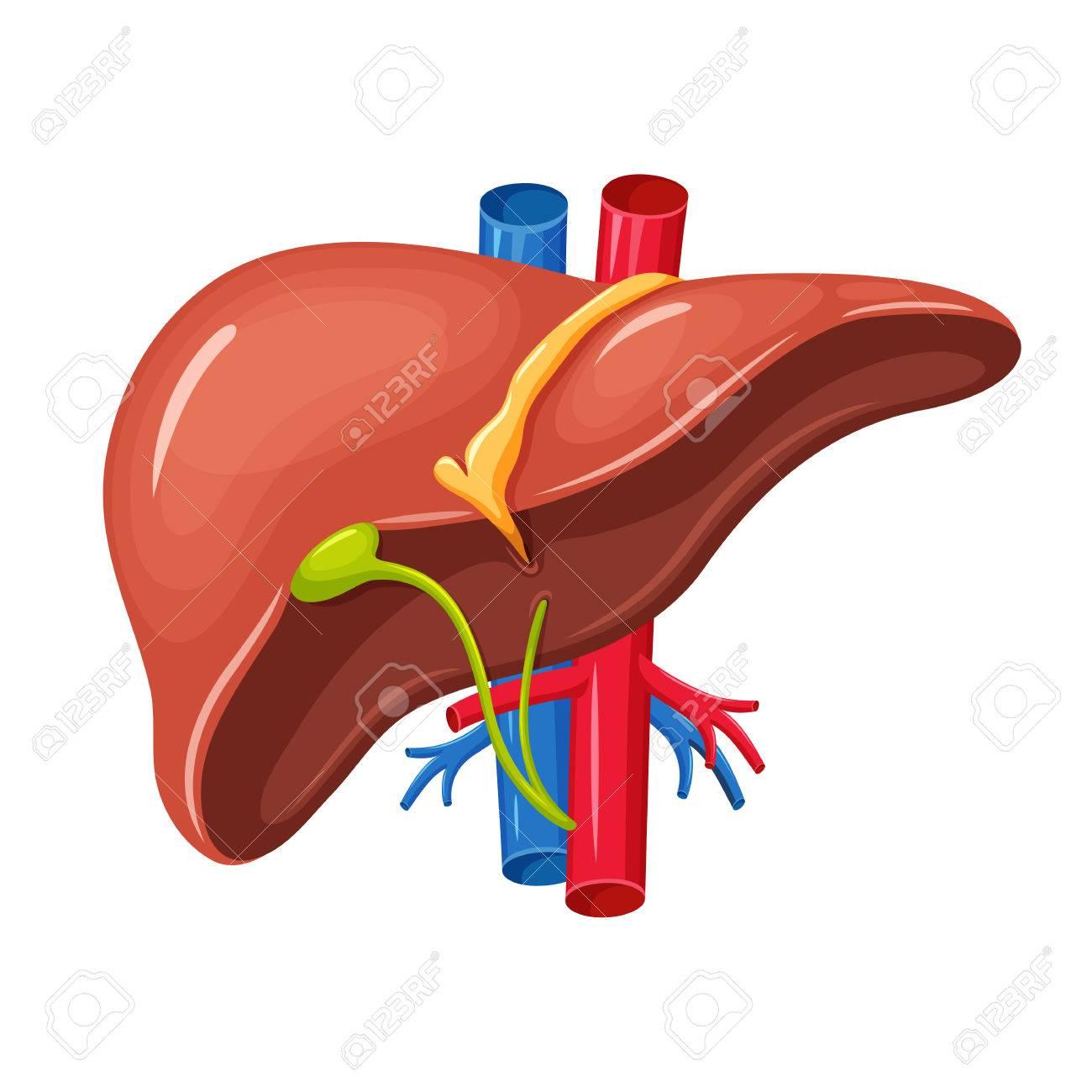 Anatomía Del Hígado Humano. Hígado Ilustración Vectorial Ciencia ...