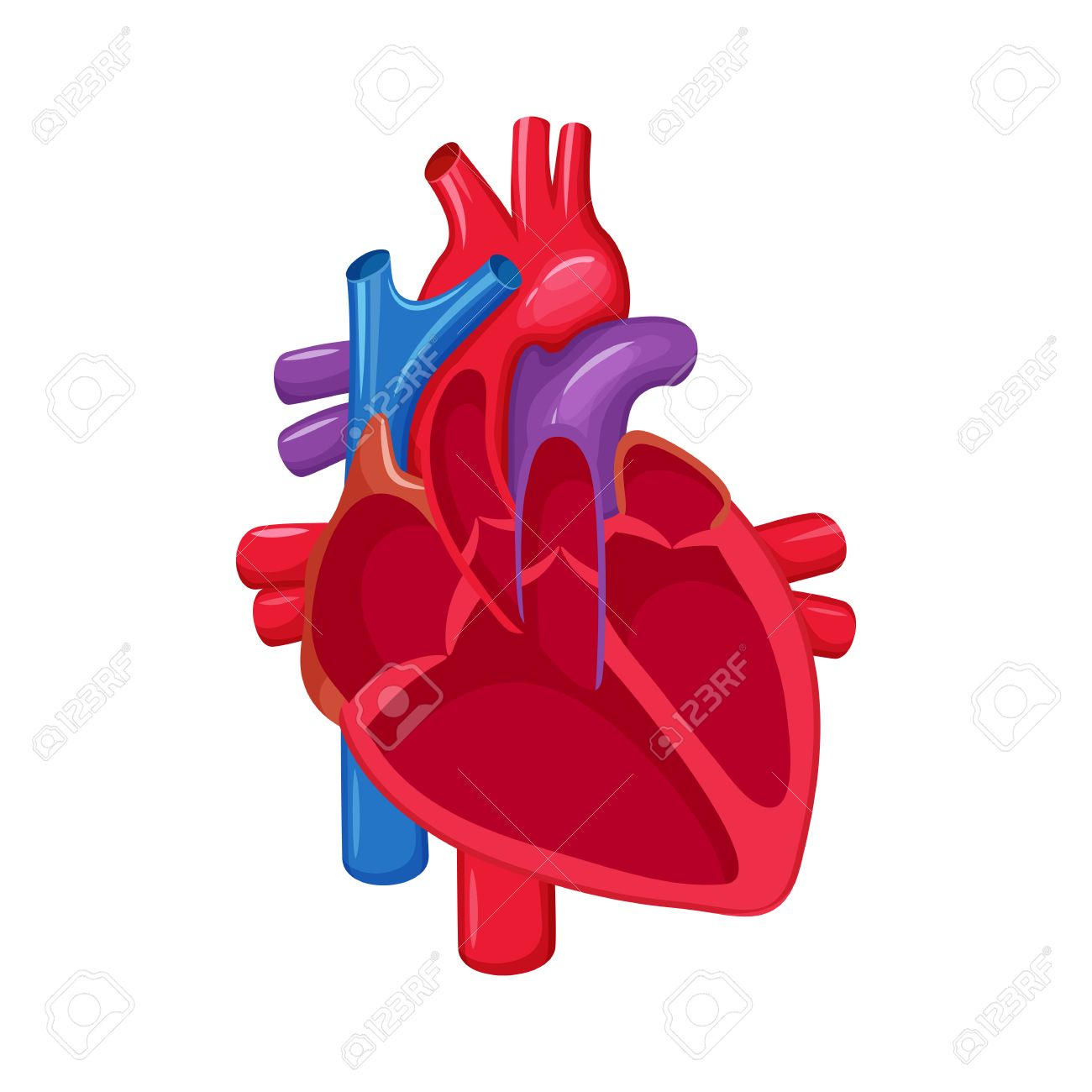 Anatomía Del Corazón Humano. Ilustración Vectorial Corazón La ...