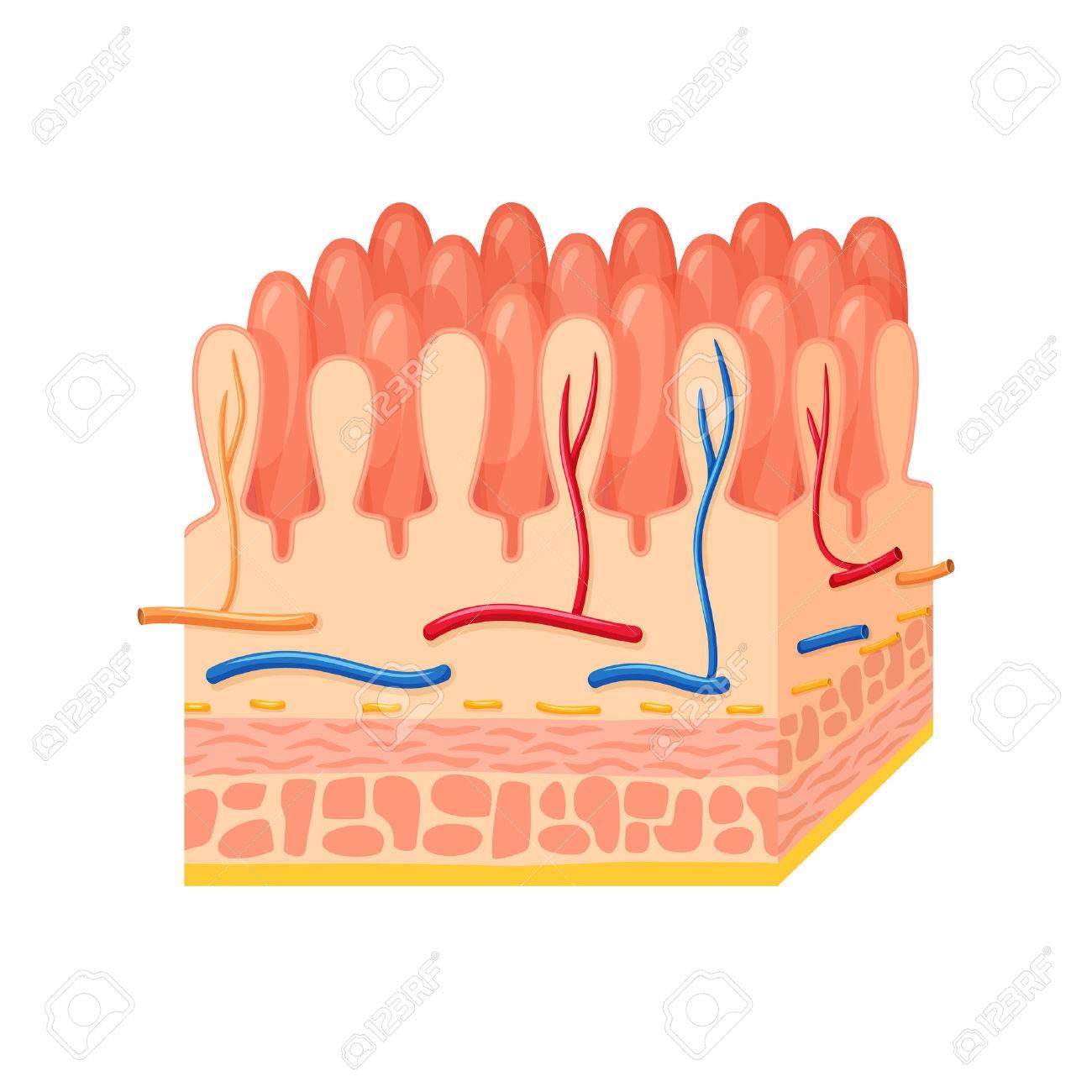 Anatomía De La Pared Intestinal. Pared Intestinal Ilustración ...