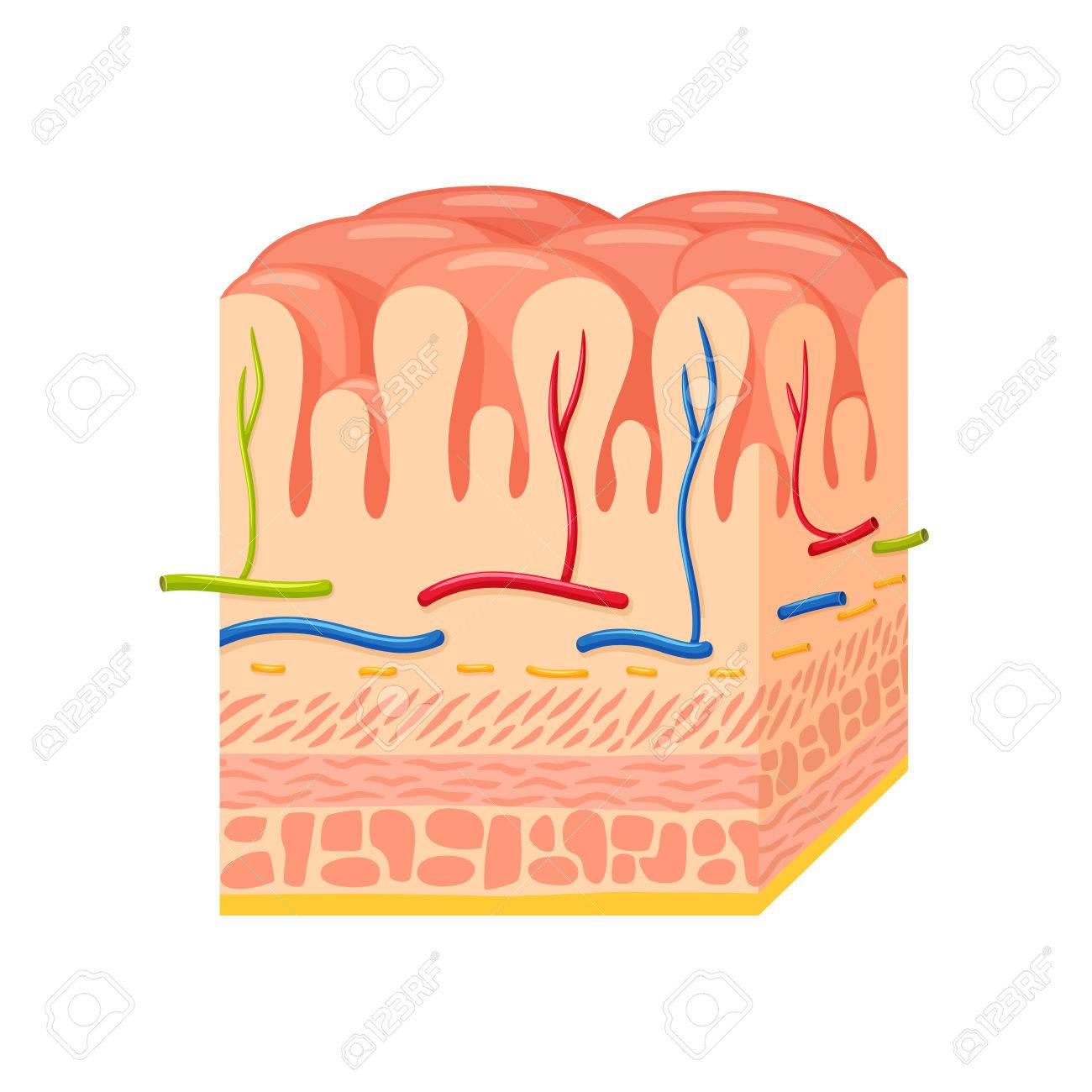 Pared Del Estómago Anatomy.Stomach Pared De La Ciencia Médica ...