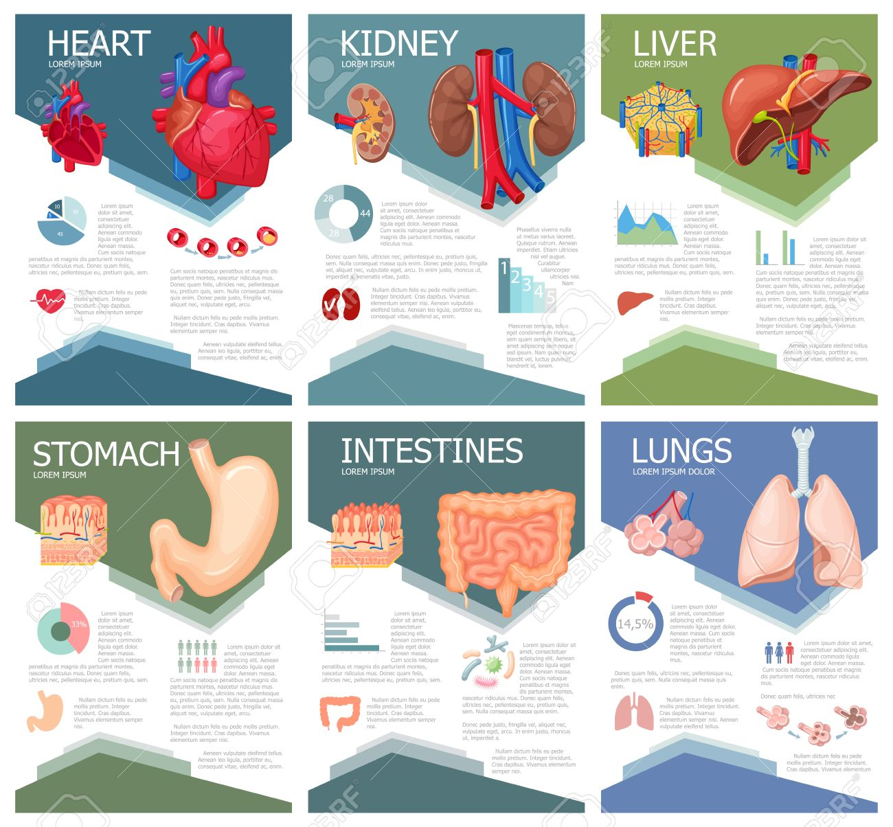 Human organ anatomy infographic poster with chart diagram and human organ anatomy infographic poster with chart diagram and icon kidney lung ccuart Gallery