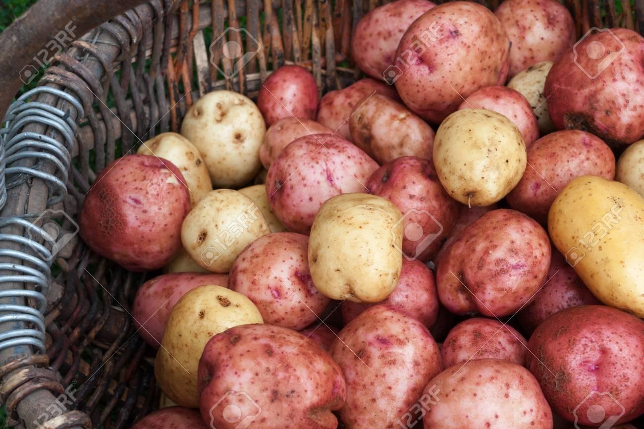 Raw unpeeled potatoes in a wicker basket Stock Photo - 17631396