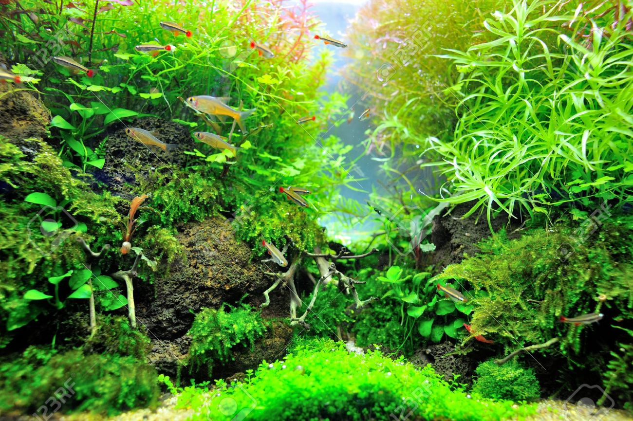 beautiful planted tropical aquarium with fishes stock photo