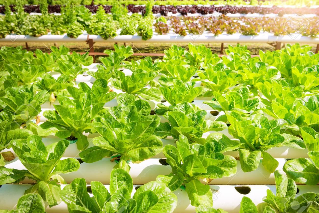 hidropónico Verduras Que Crecen Con El Sistema De Jardinera Hidropnico El Cultivo Hidropnico Utiliza Soluciones De Nutrientes Minerales Para Alimentar A Las