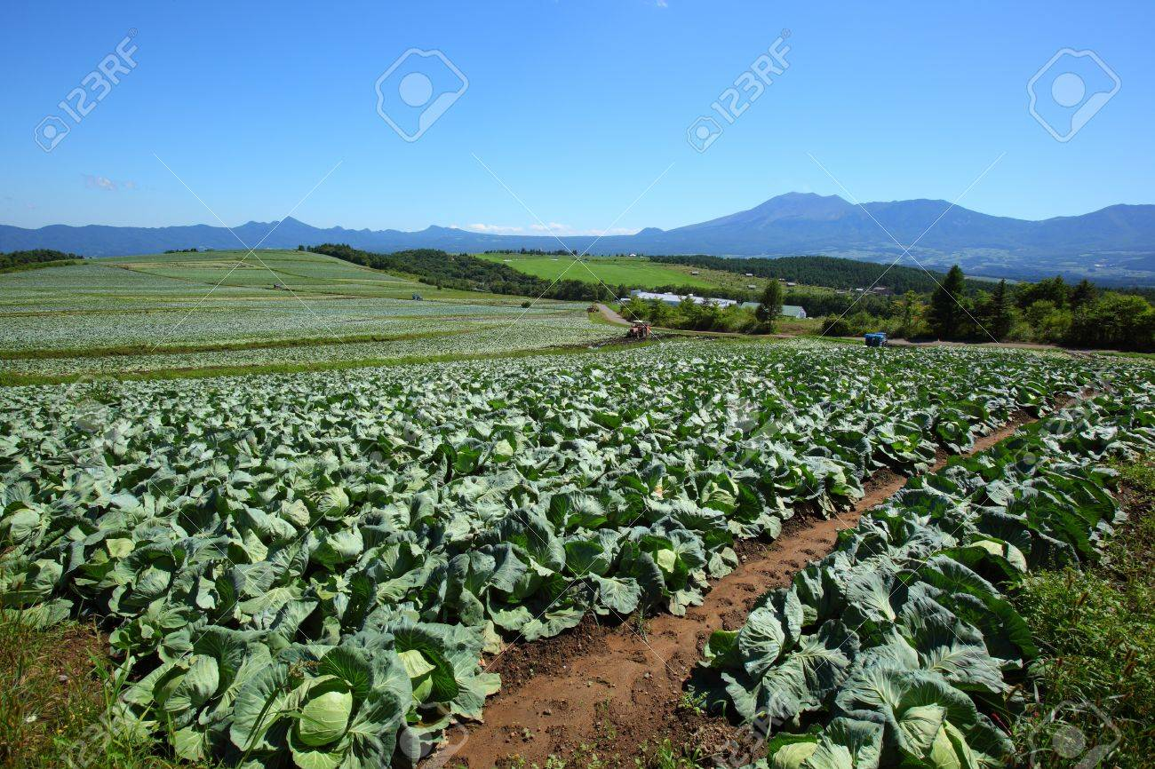 Mountain and cabbage field in japan Stock Photo - 10530383