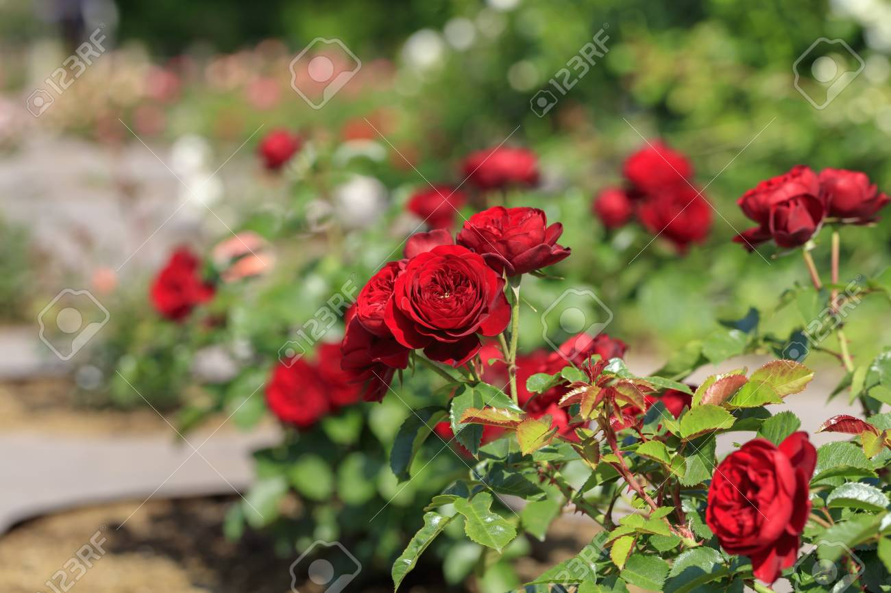 Red Roses Spring Flowers In Japan Lizenzfreie Fotos Bilder Und