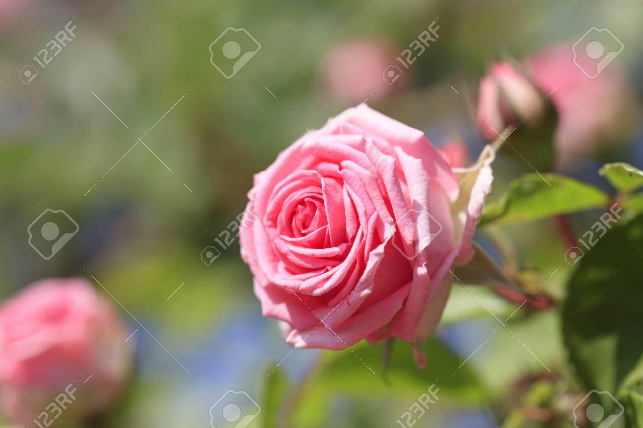 Pink Roses Spring Flowers In Japan Lizenzfreie Fotos Bilder Und