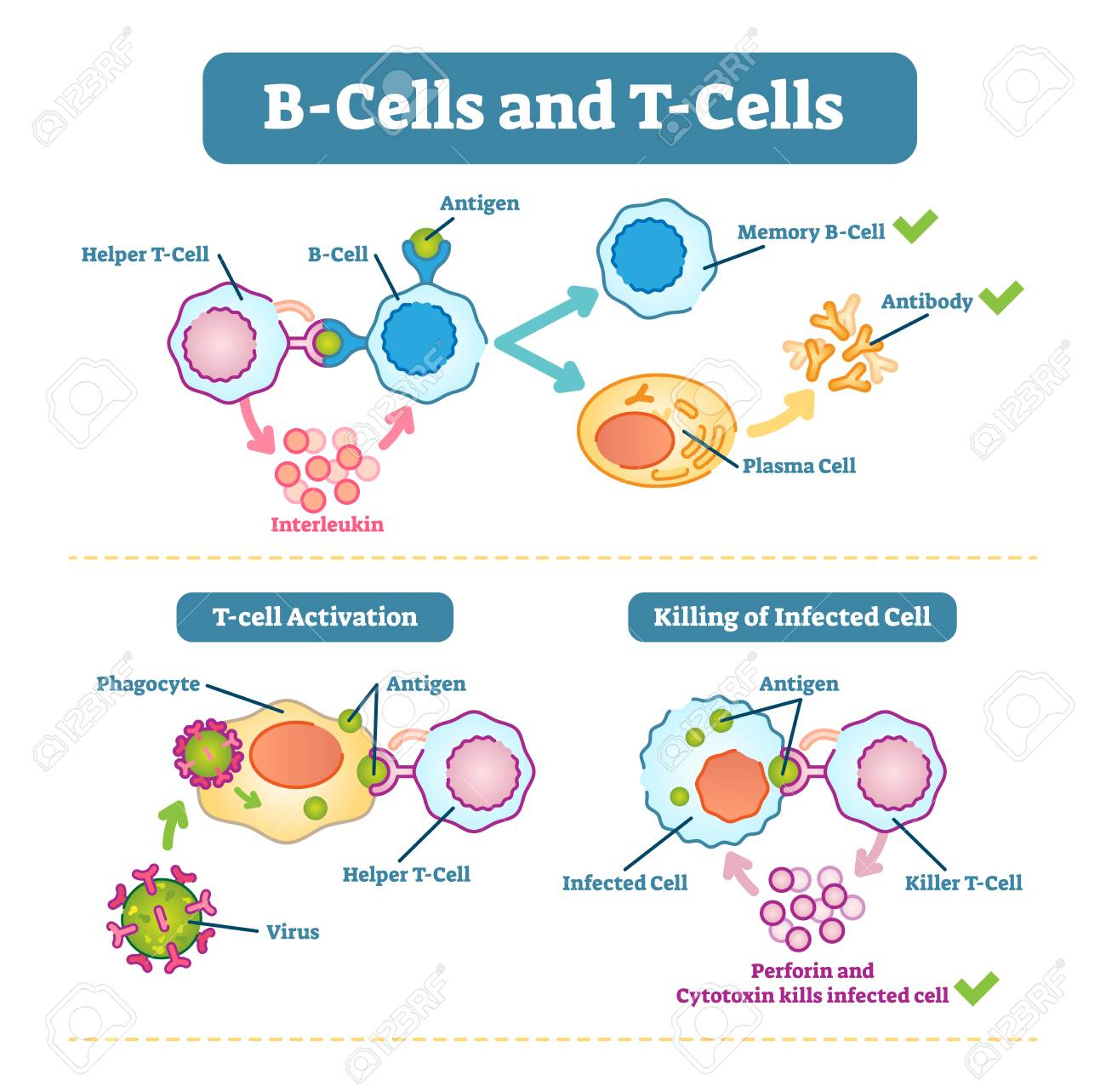 B cells and t cells schematic diagram vector illustration immune b cells and t cells schematic diagram vector illustration immune system cell ccuart Image collections