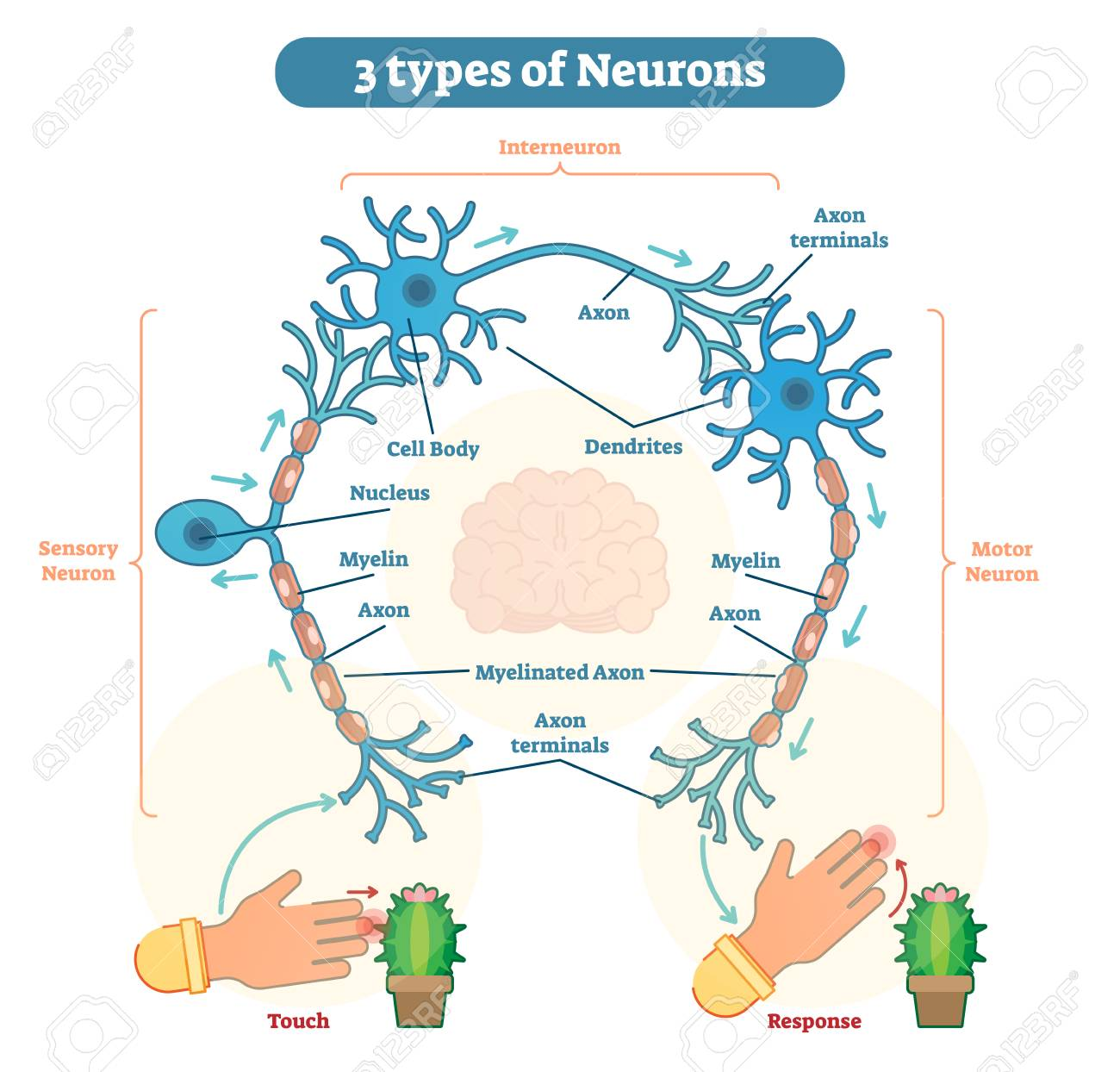 A neuron, also known as a neurone and nerve cell, is an electrically excitable cell that receives, processes, and transmits information through electrical and chemical signals. - 93720950