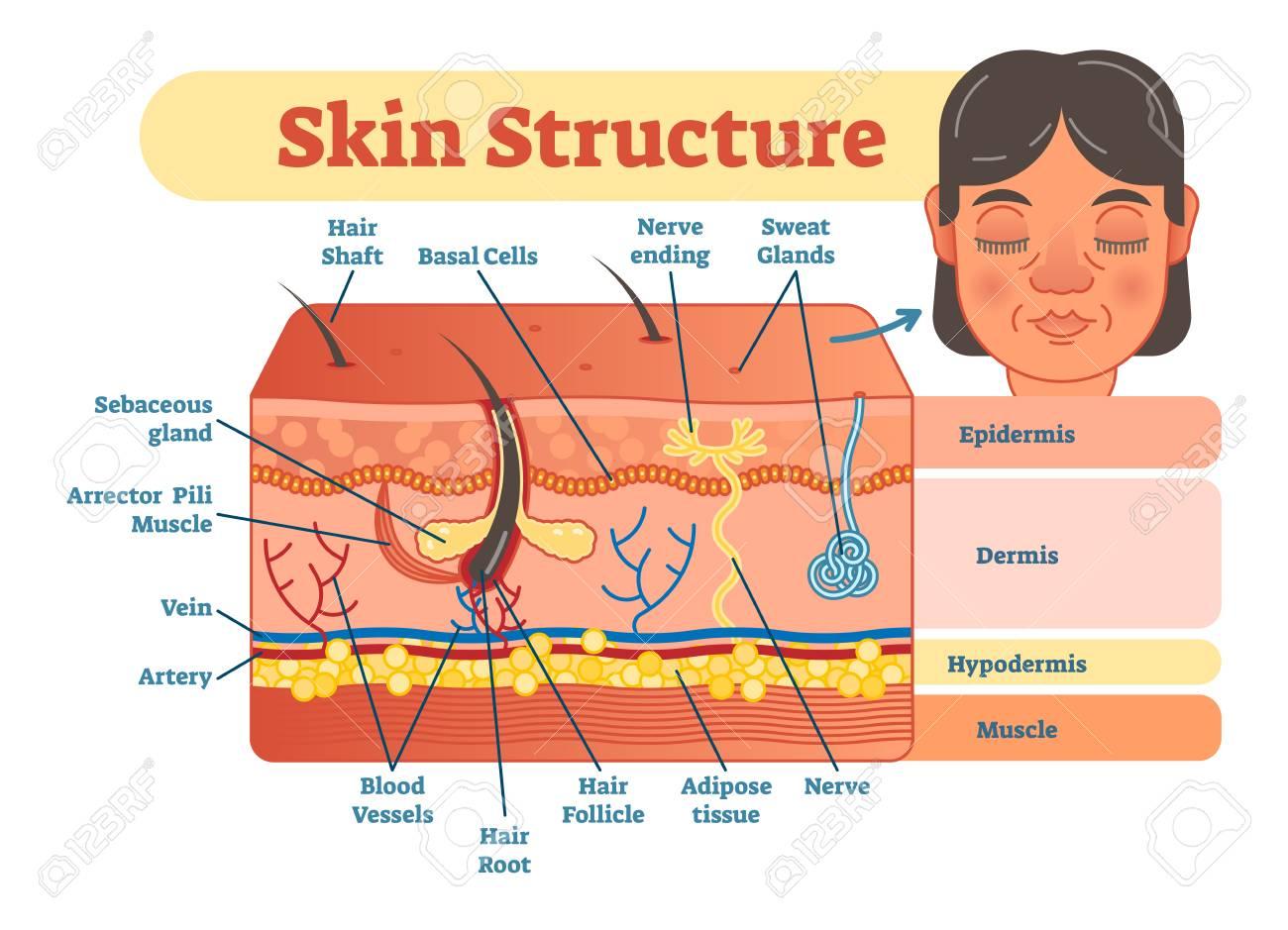 Skin Layers Diagram Data Wiring Diagrams