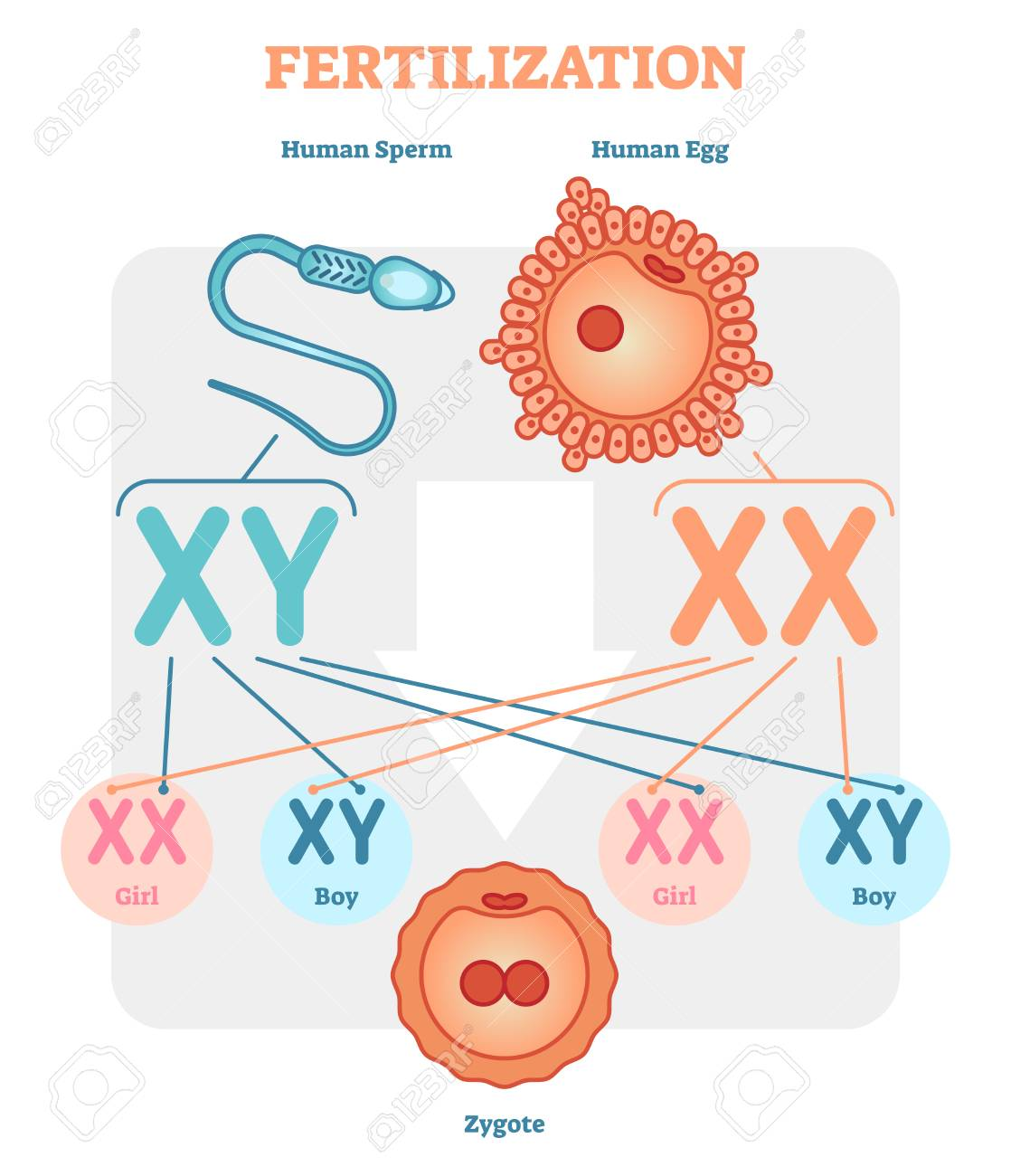 Fertilization Diagram With Human Sperm Human Egg And Zygote