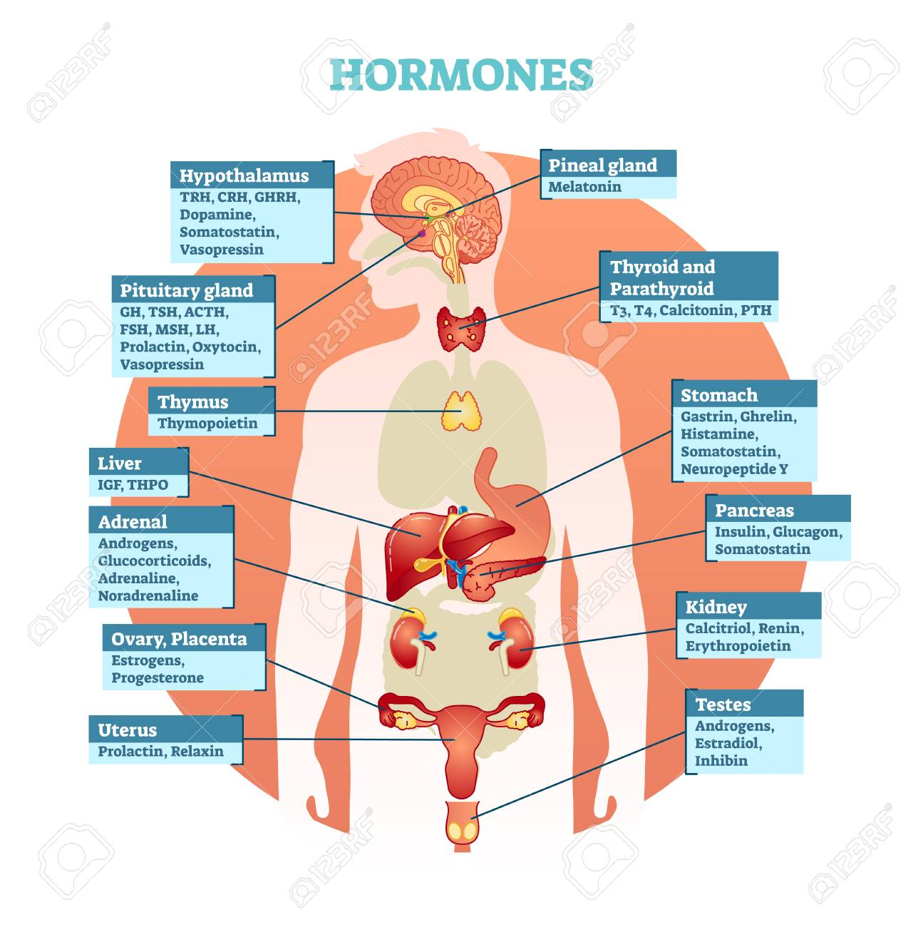 Human Body Hormones Vector Illustration Diagram, Human Organ ...