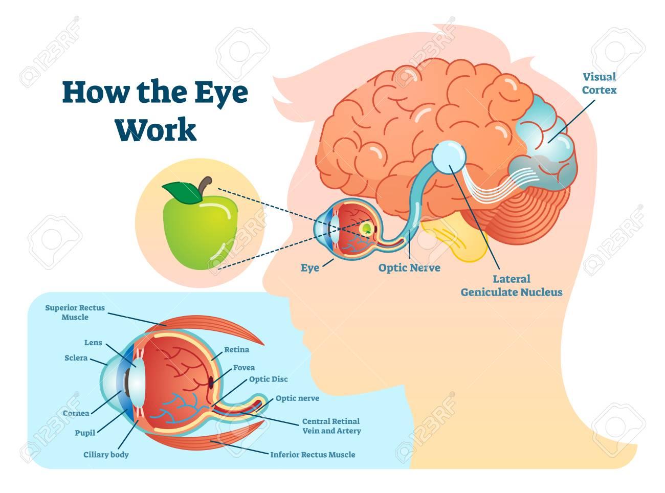 Brain diagram eye all kind of wiring diagrams how eye work medical illustration eye brain diagram eye rh 123rf com brain ear diagram brain ccuart Images