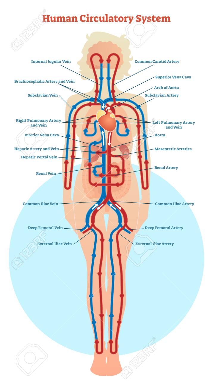 human circulatory system vector illustration diagram, blood vessels scheme   stock vector - 94286110