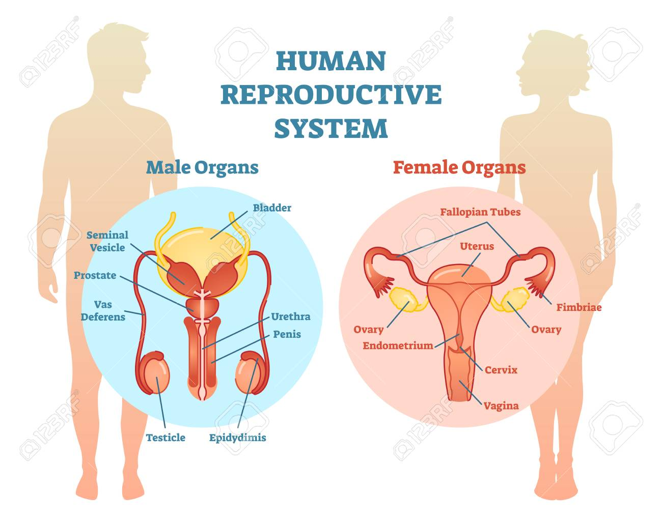 Human Reproductive System Vector Illustration Diagram, Male And ...