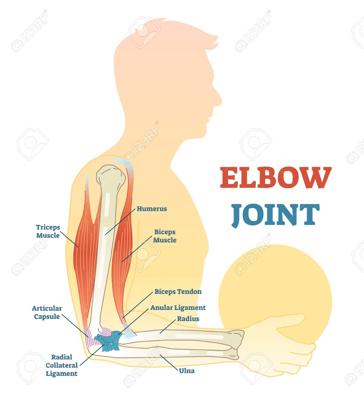 Elbow Joint Vector Illustrated Diagram Medical Scheme Educational