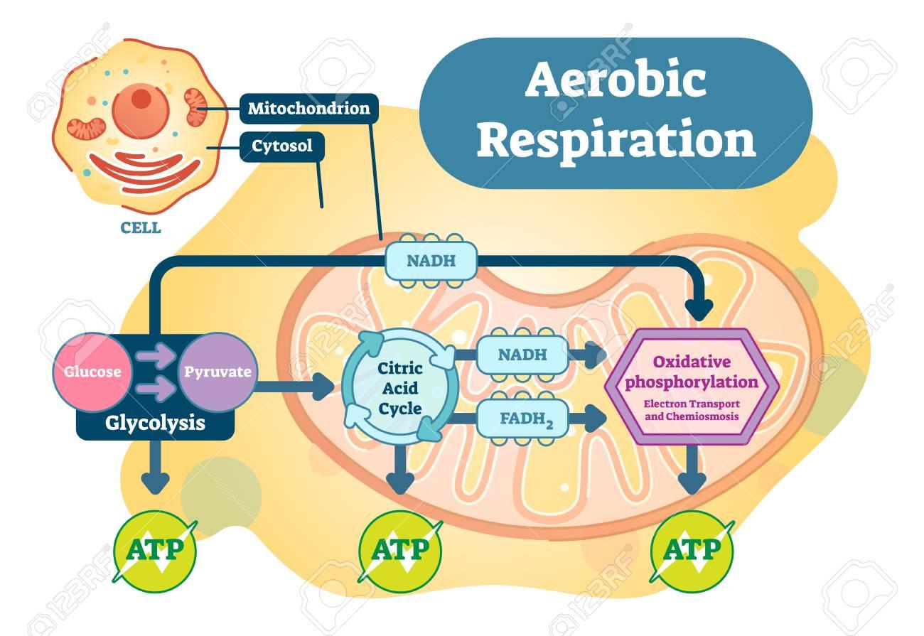 Aerobic Respiration bio anatomical vector illustration diagram. - 95563557
