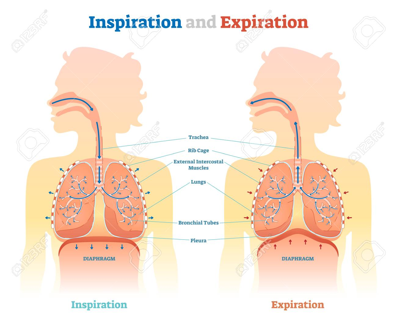 Inspiration and Expiration anatomical vector illustration diagram, educational medical scheme with lungs, diaphragm, rib cage and trachea. - 95617364