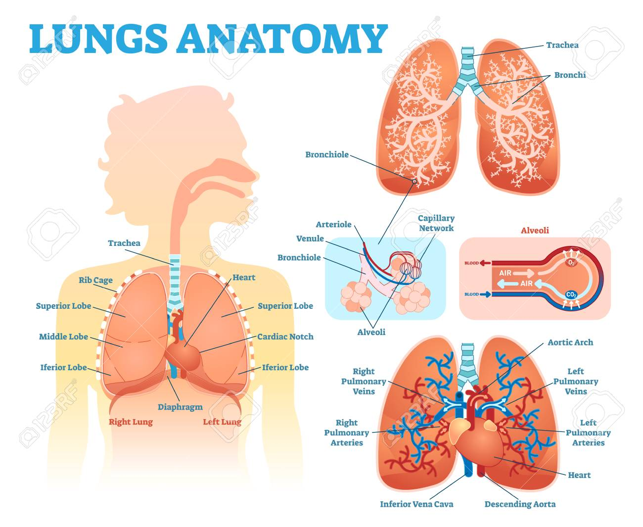 Lungs Anatomy Medical Vector Illustration Diagram Set With Lung ...