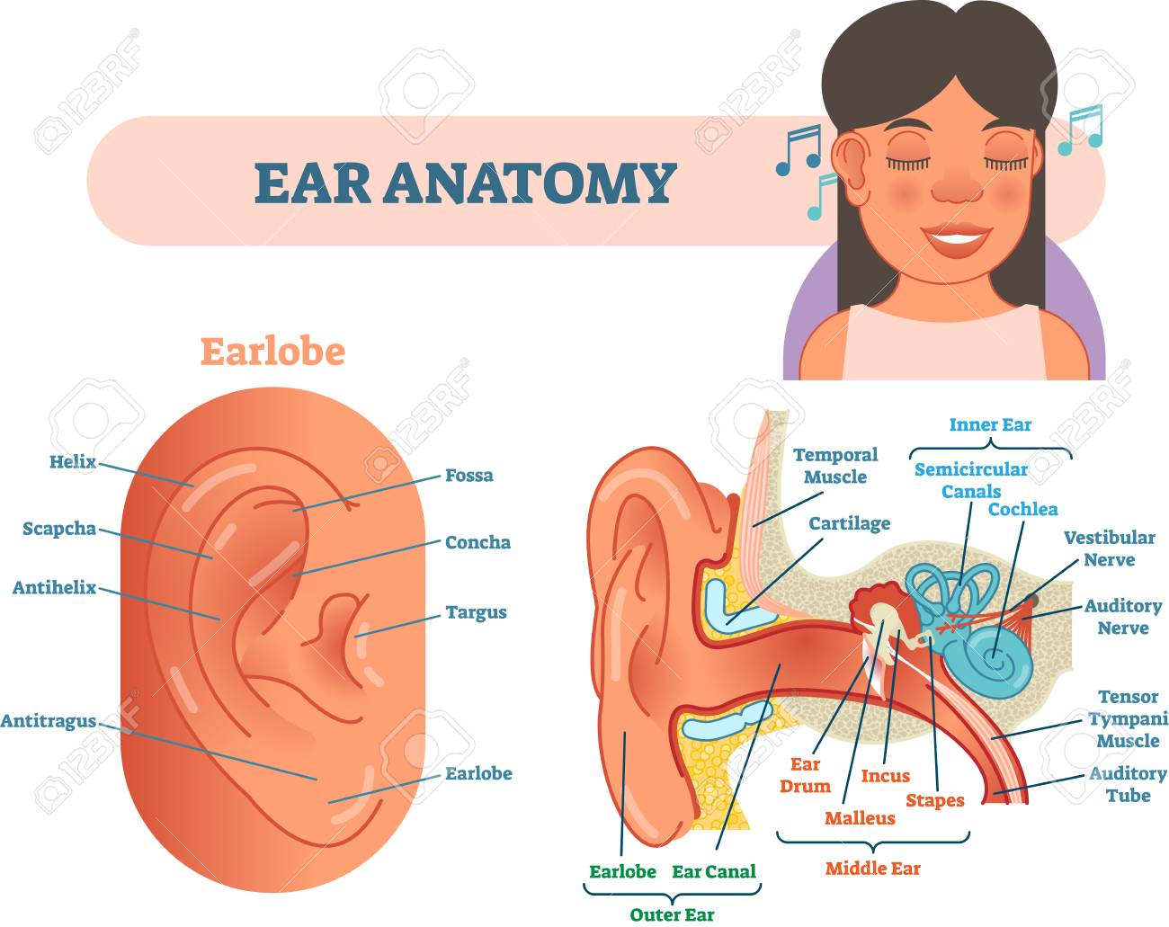 Ear Anatomy Medical Vector Illustration Royalty Free Cliparts ...