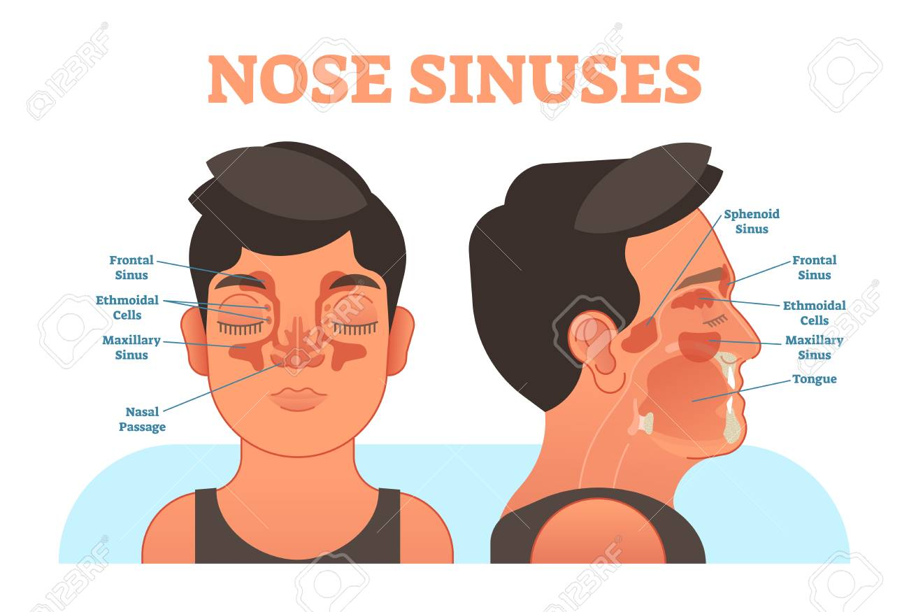 Nose Sinuses Anatomical Vector Illustration Cross Section ...