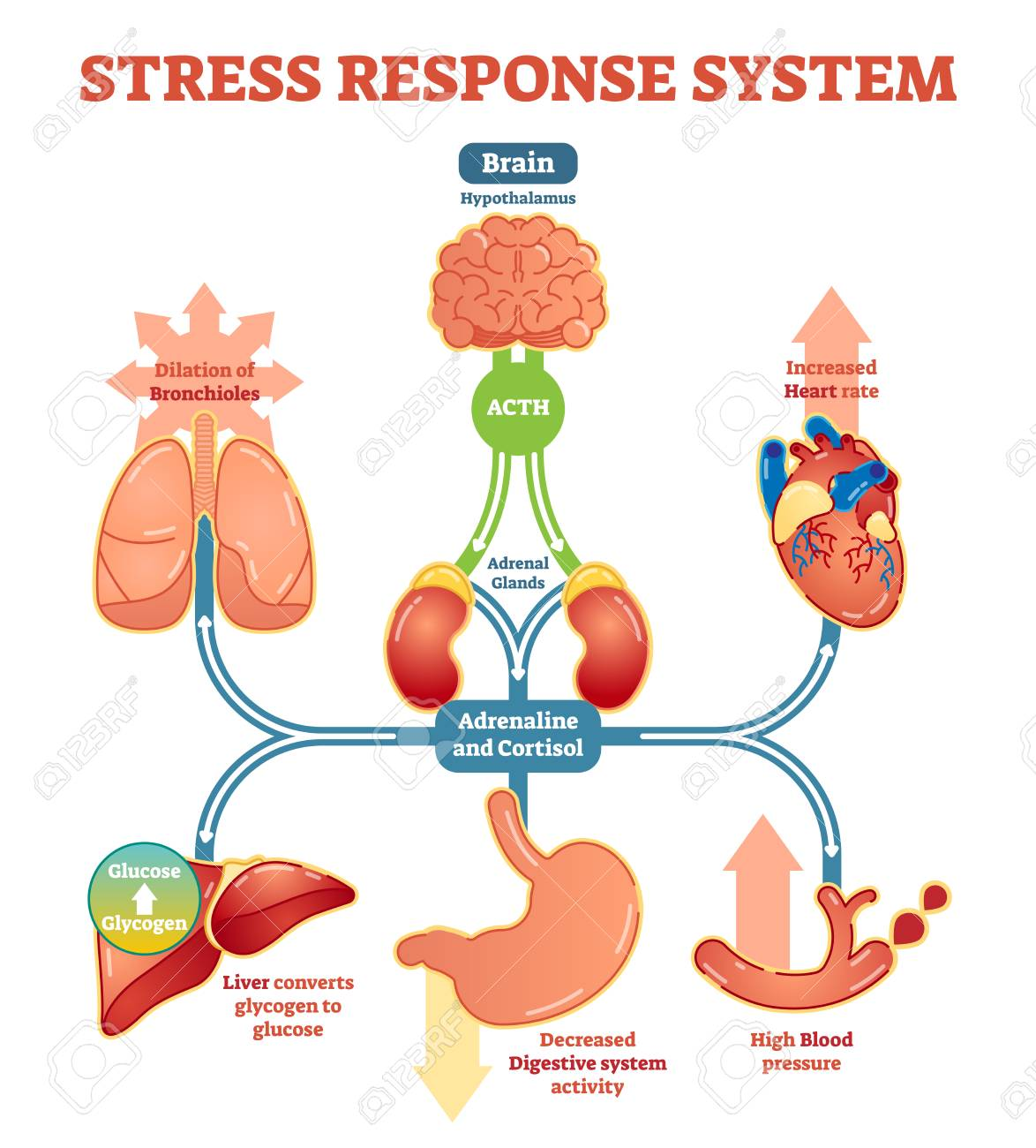 Stress Response System Vector Illustration Diagram, Nerve Impulses..  Royalty Free Cliparts, Vectors, And Stock Illustration. Image 96080139.