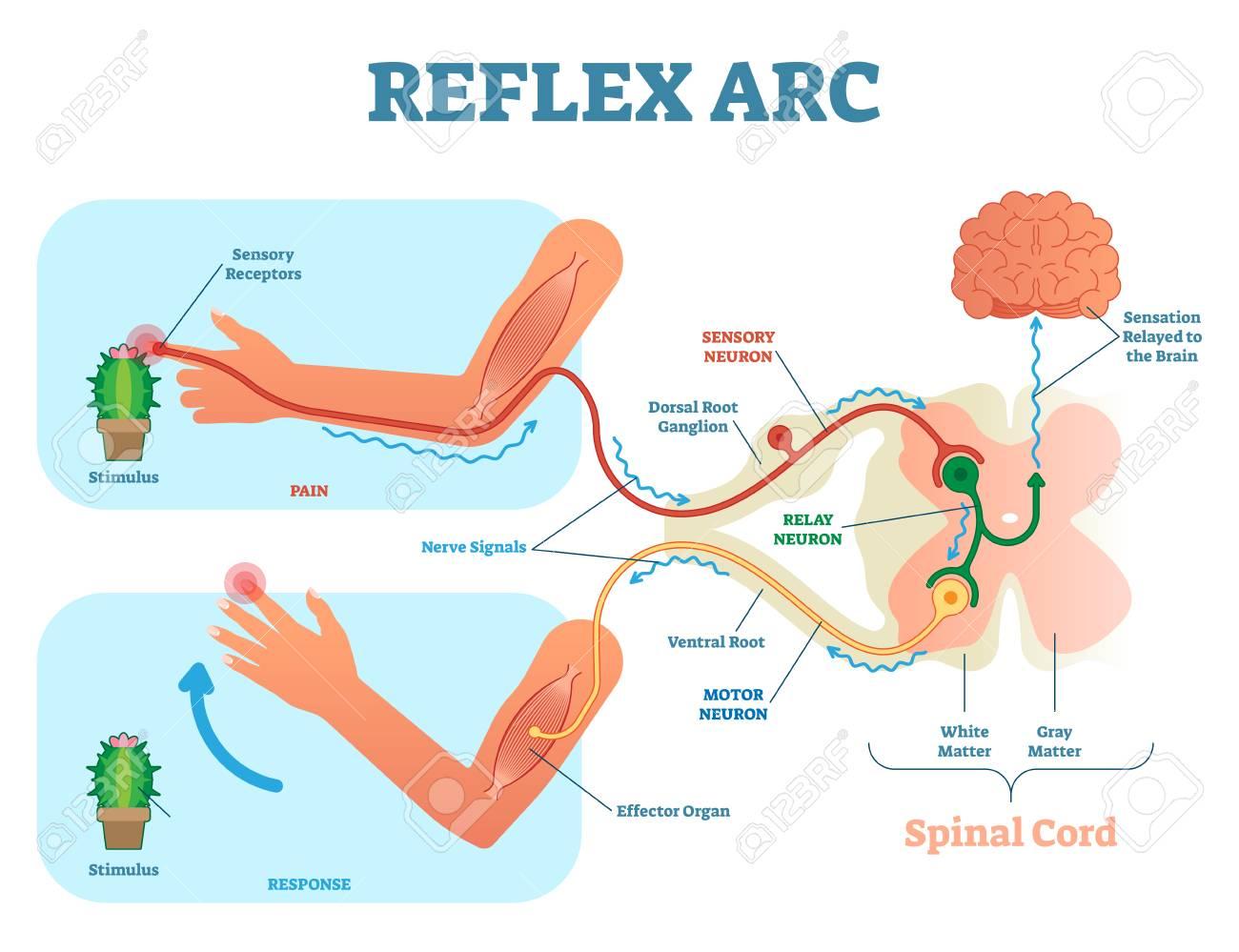 Reflex arc diagram circuit connection diagram spinal reflex arc anatomical scheme vector illustration with rh 123rf com reflex arc diagram class 10 ccuart Image collections
