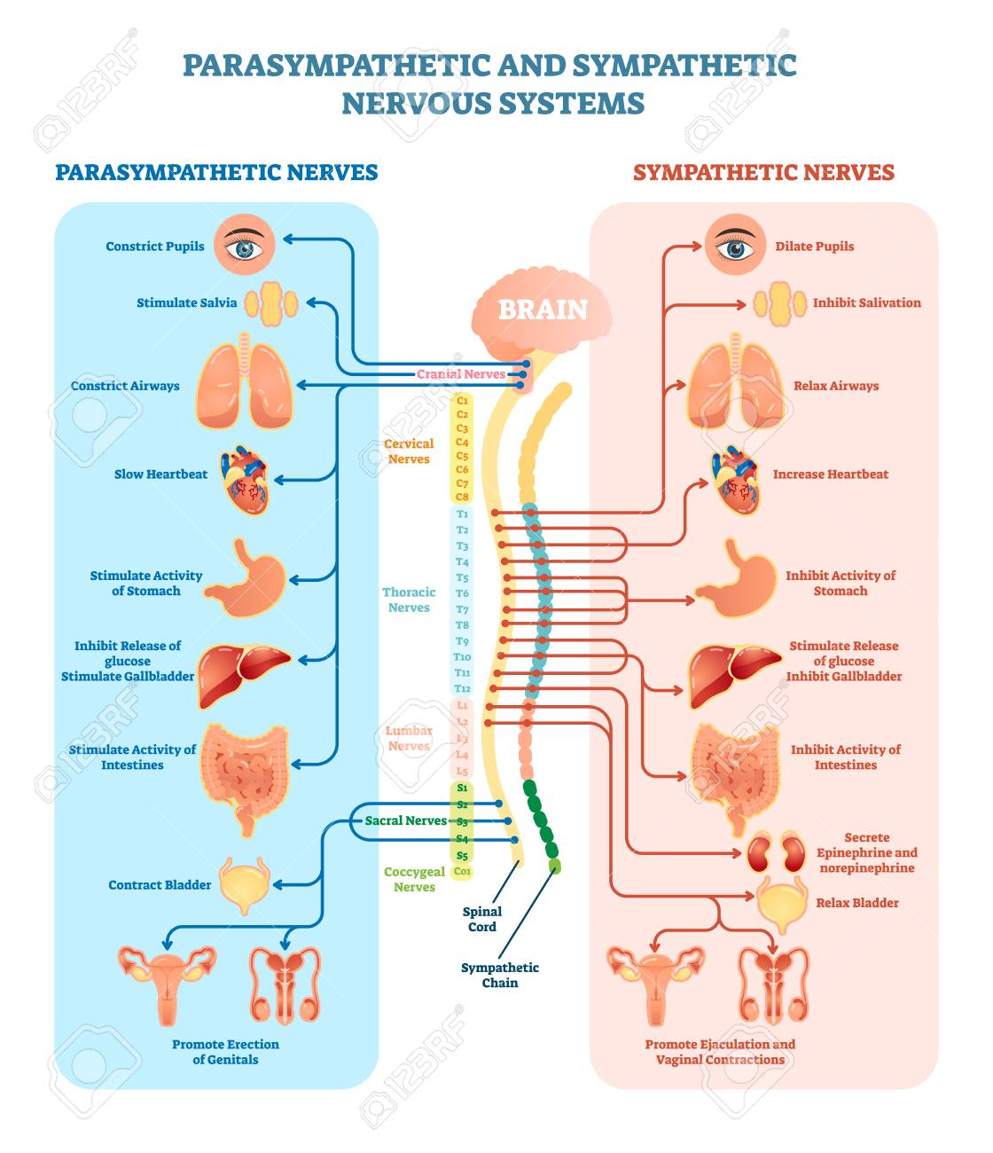 Human nervous system medical vector illustration diagram with parasympathetic and sympathetic nerves and all connected inner organs through brain and spinal cord. Educational information complete guide. - 96991220