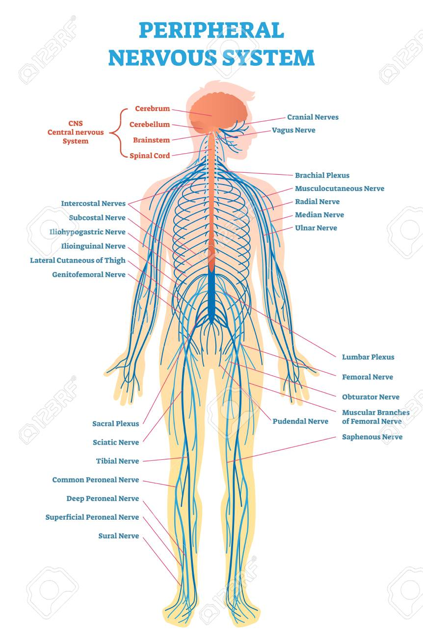 Peripheral nervous system medical vector illustration diagram peripheral nervous system medical vector illustration diagram with brain spinal cord and full body ccuart Choice Image