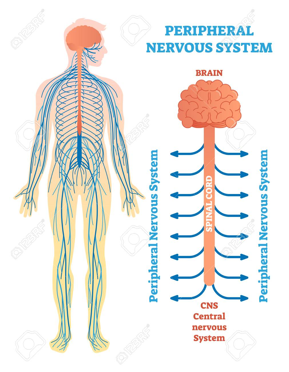 peripheral nervous system, medical vector illustration diagram