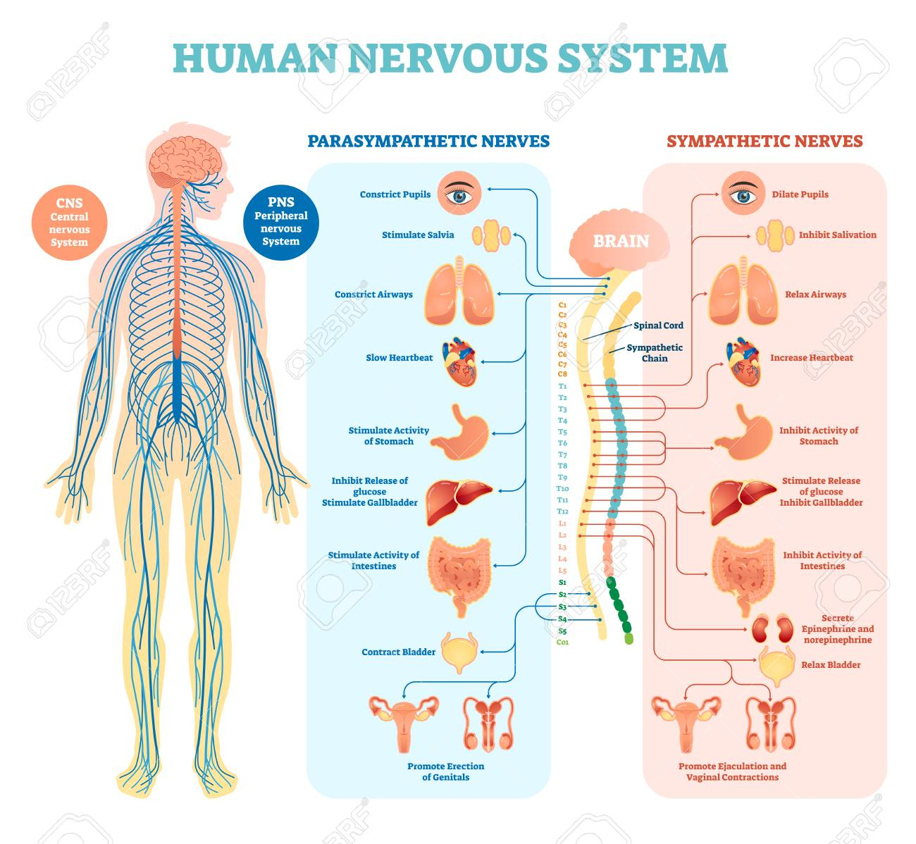 Human nervous system medical vector illustration diagram with parasympathetic, sympathetic nerves and all connected inner organs through brain and spinal cord. Educational information complete guide. - 97115613
