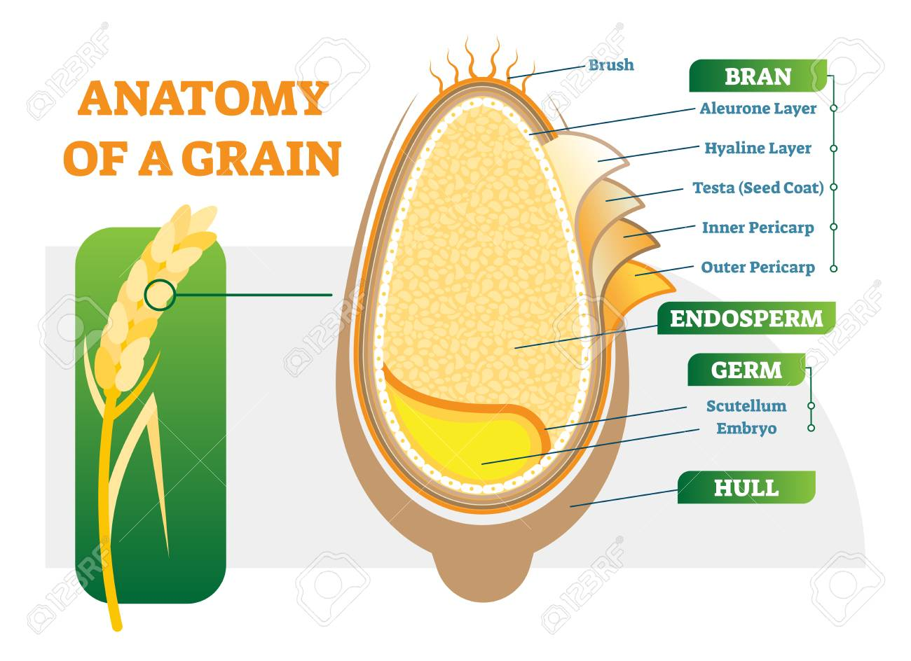 Grain anatomical layers vector illustration diagram with bran, endosperm, germ and hull. Biology science poster. - 98976831