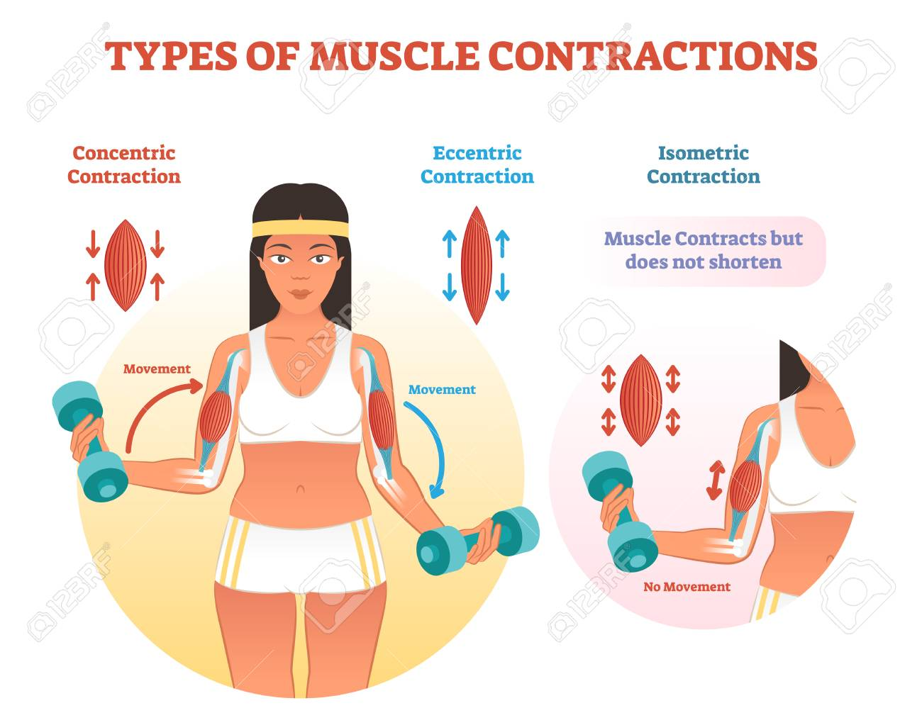 Muscle contractions scheme with arm cross section and fitness weight lifting exercise movement. Concentric, eccentric and isometric contraction types diagram. - 99343402