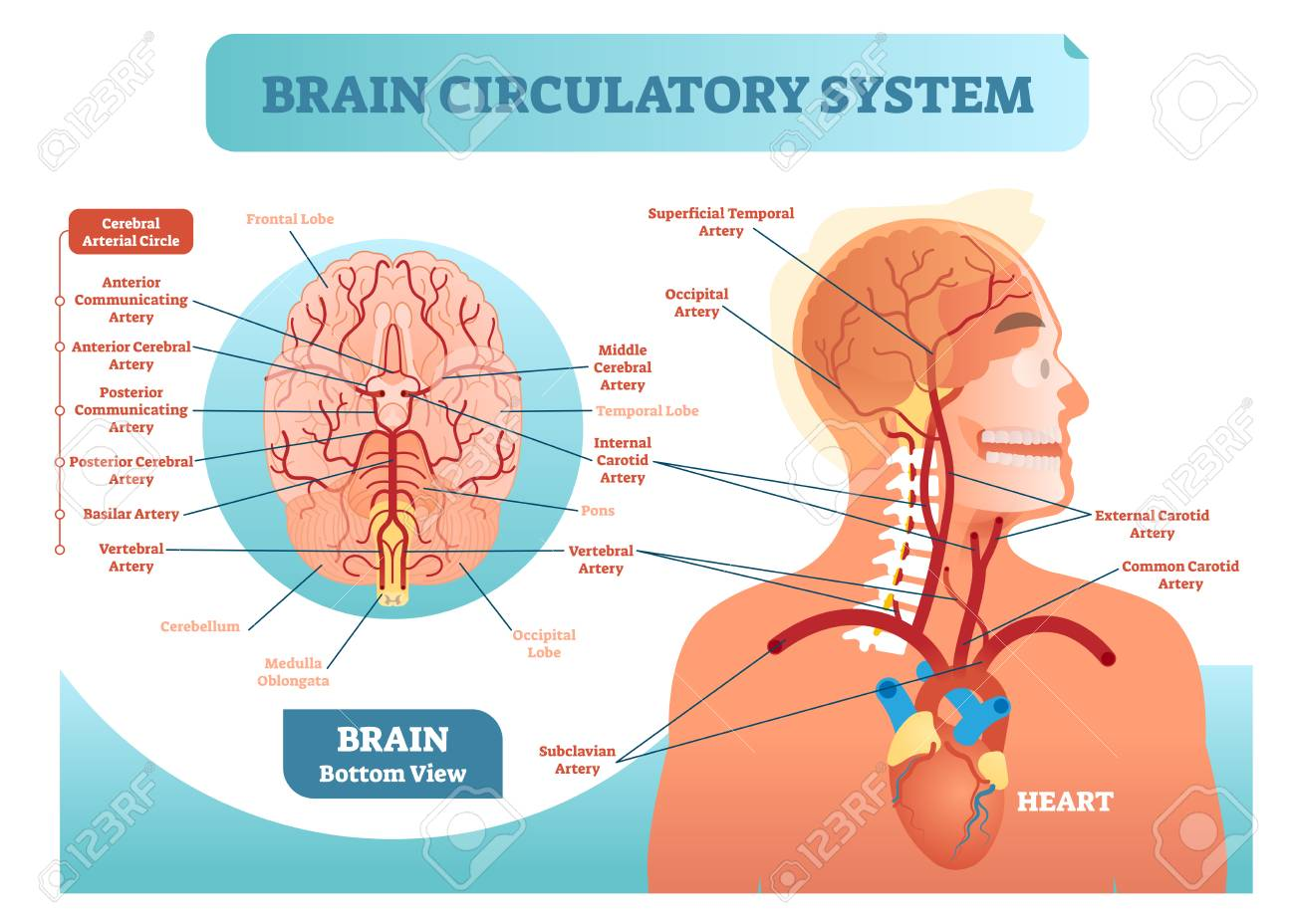 Detailed Brain Circulatory System Diagram - Auto Electrical Wiring ...